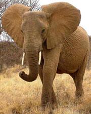 L elephant d Afrique e...